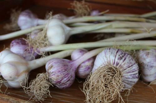 garlic-500.jpg