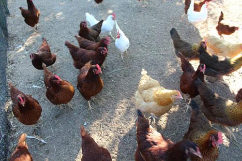 hens-500.jpg