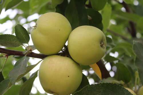 TVF-apples-organic.jpg