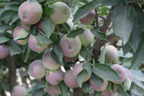 TVF-more-apples-organic.jpg