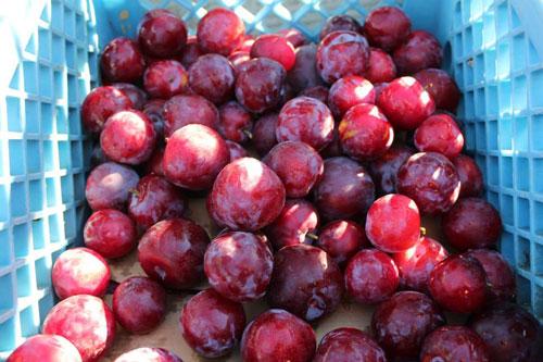 TVF-more1-plums-organic.jpg