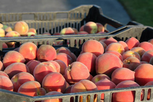 TVF-more5-peaches-organic.jpg
