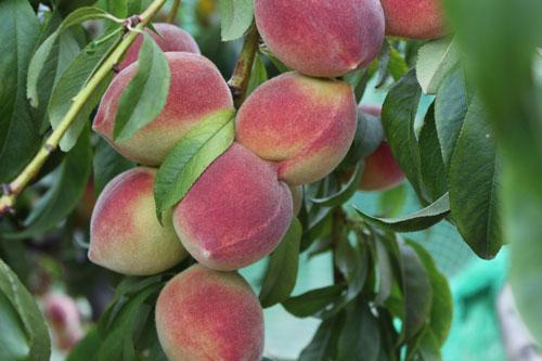 TVF-peaches-organic.jpg