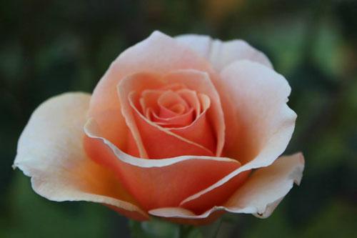 TVF-flowers-rose-organic.jpg
