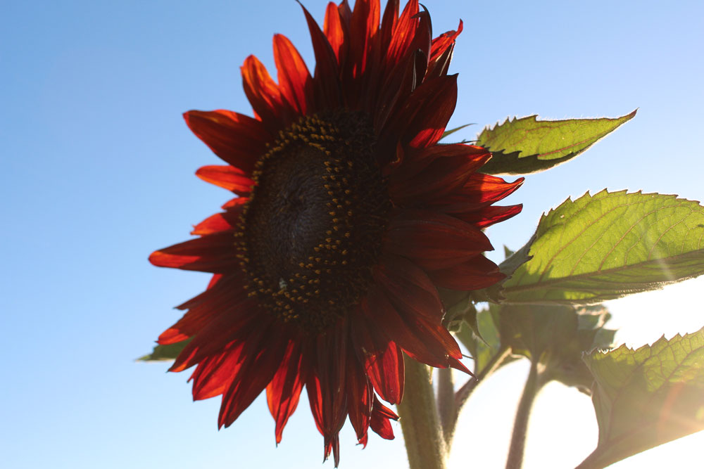 red-sunflower.jpg
