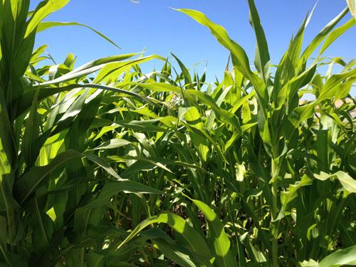 corn-crop-close.jpg