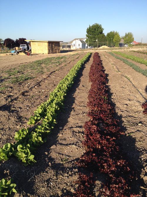 lettuce-crops.jpg