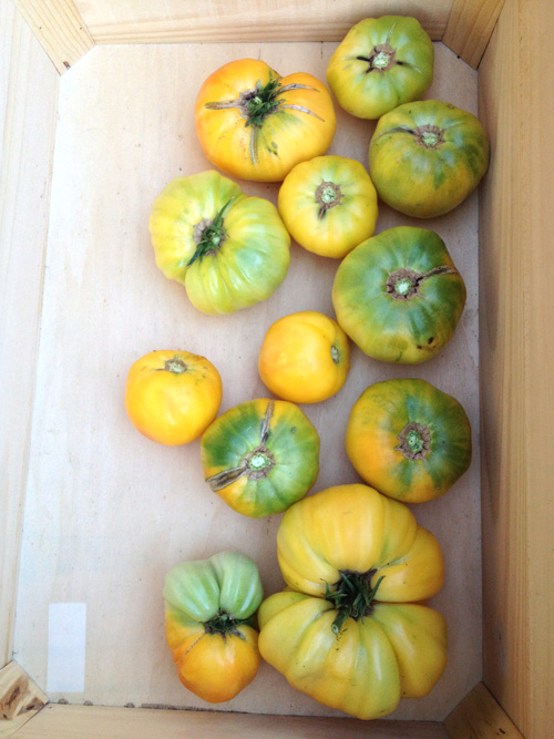 tomatoes-yellow.jpg