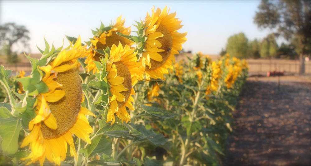new-slider-sunflowers.jpg