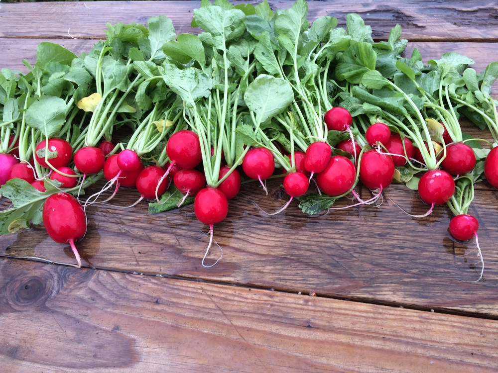 Radishes at 880 Climbing Tree Lane, Templeton