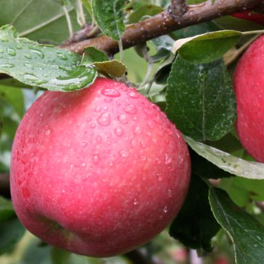 Twisp River Organic Apples