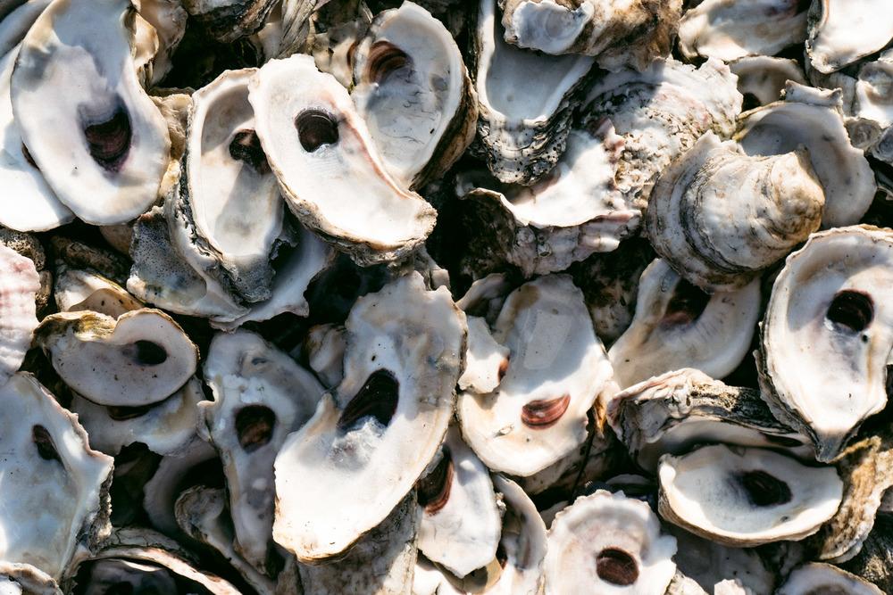 Oyster Shells, (St. Augustine, FL)