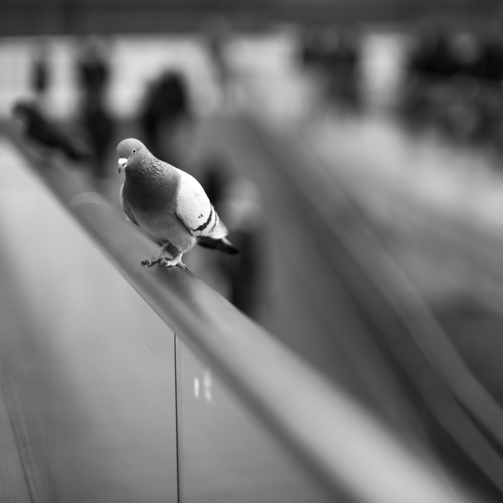 The pigeon, which is in focus, provides a great sense of how quickly focus melts from the subject