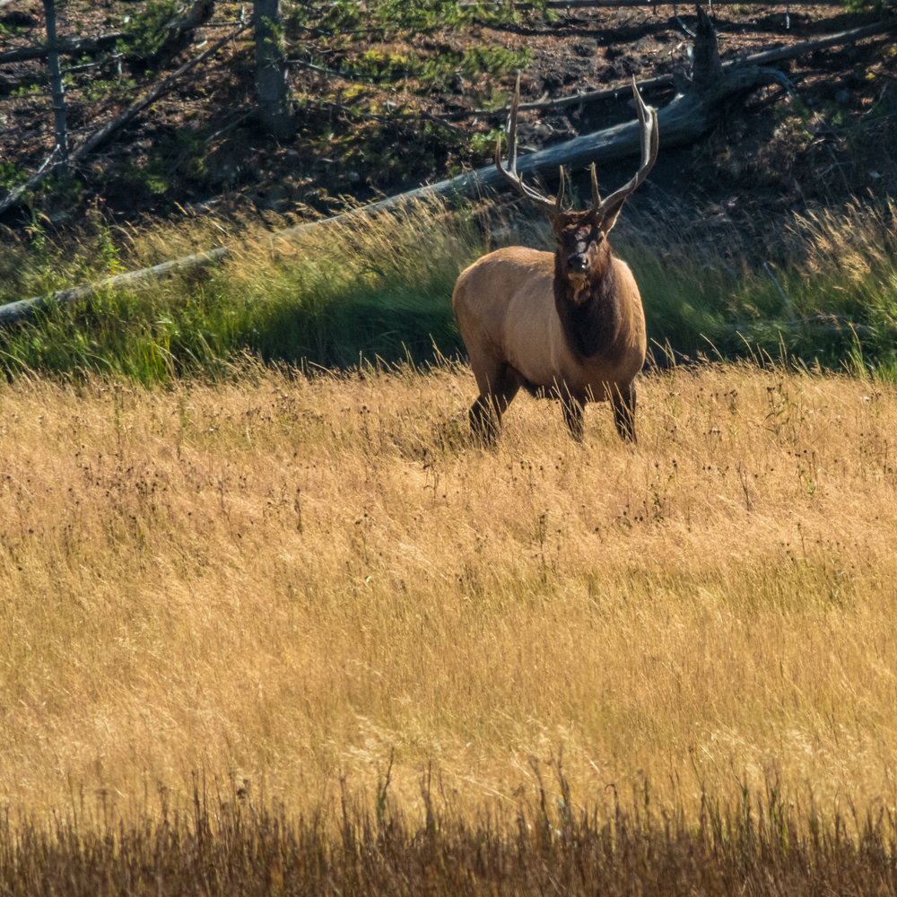Bull elk in Yellowstone. Leica SL with Canon 400mm f/2.8 with 2x teleconverter.