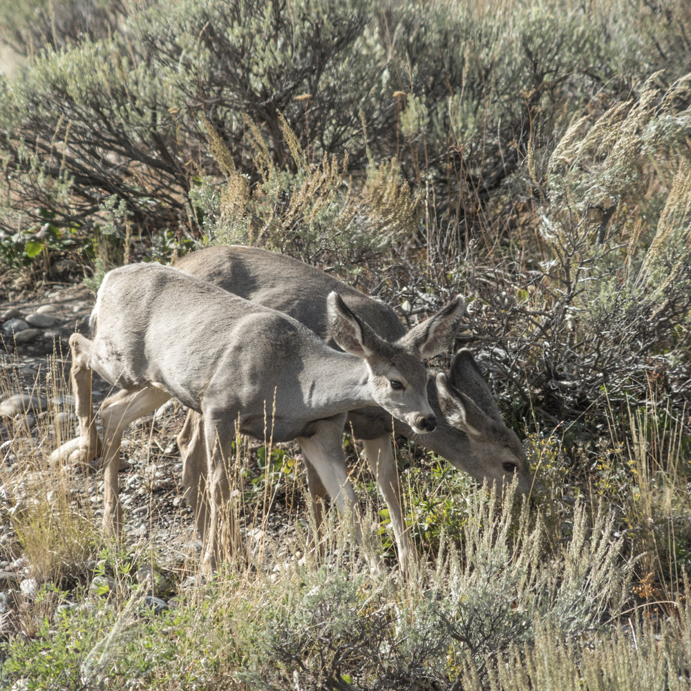 Two young deer graze in Grand Teton National Park.