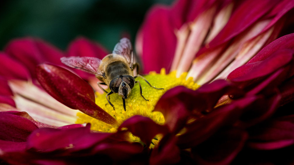 A bee on a flower in an indoor garden in Pennsylvania. Shot with a Nikon D850 + Nikon 200mm f/4 micro lens that was calibrated with the camera.