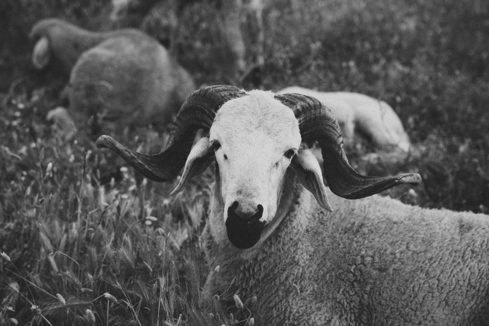 sheep_morocco_blog-1.jpg