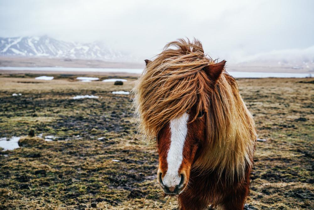 icelandic_horses.jpg