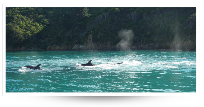 Dolphinsin the Marlborough Sounds  (photo Cawthron Inst)