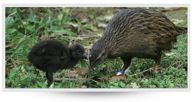 Weka in Marlborough Sounds