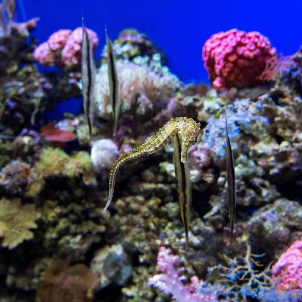 Seahorse - Dubai Aquarium