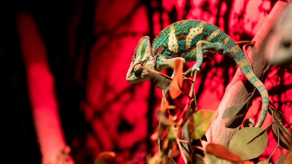 Chameleon - Dubai