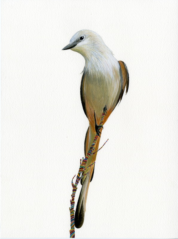 Scissor Tailed Fly Catcher  by Carrie Marill | Gouache on Paper