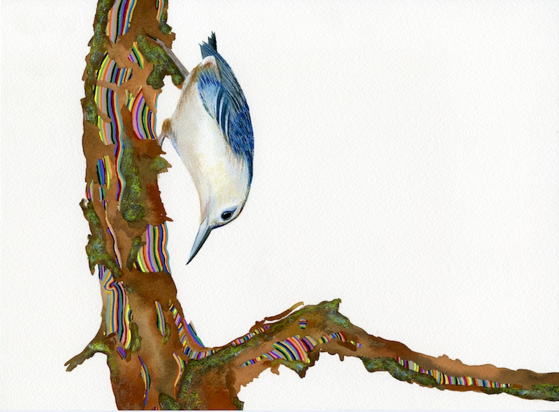 White Breasted Nut Hatch  by Carrie Marill | Gouache on Paper