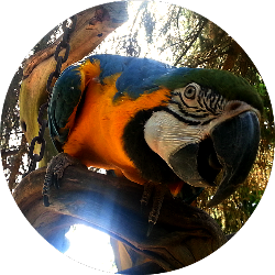 Scullywags The Macaw.png