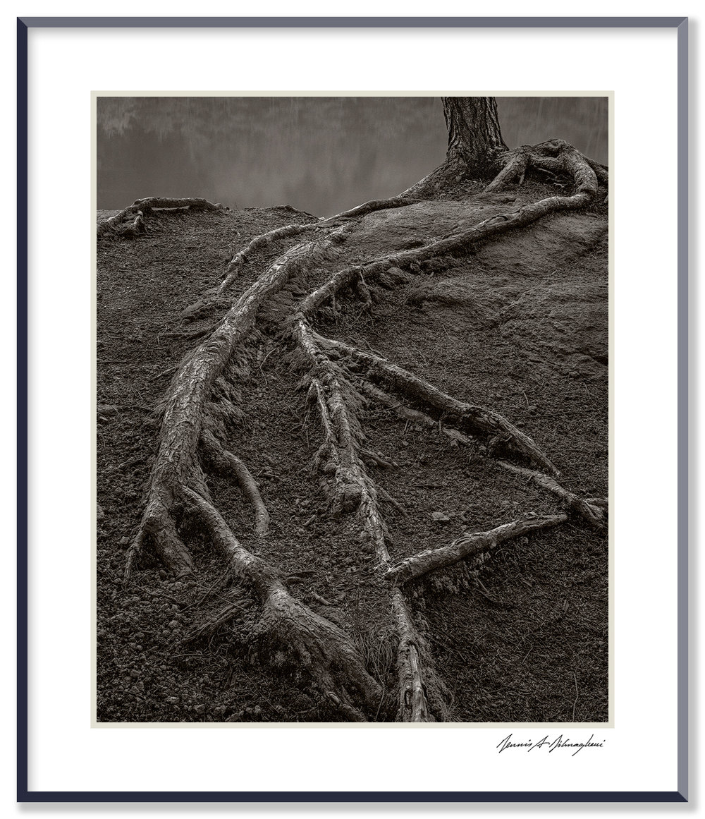 Creeping Tree Roots - Connecticut   At the bank of the Connecticut River