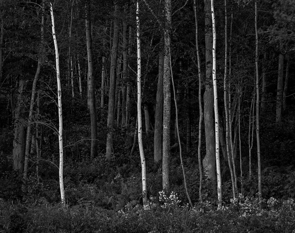 Dilmaghani-Dennis_Three-Birches.jpg