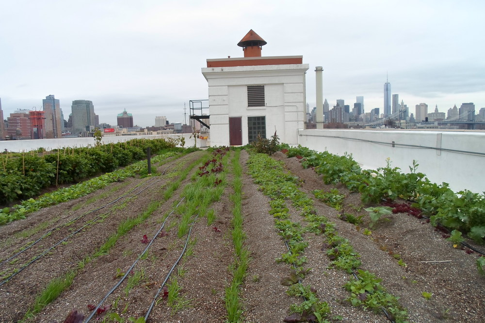 Tin Phan   Brooklyn Grange Farm i New York.