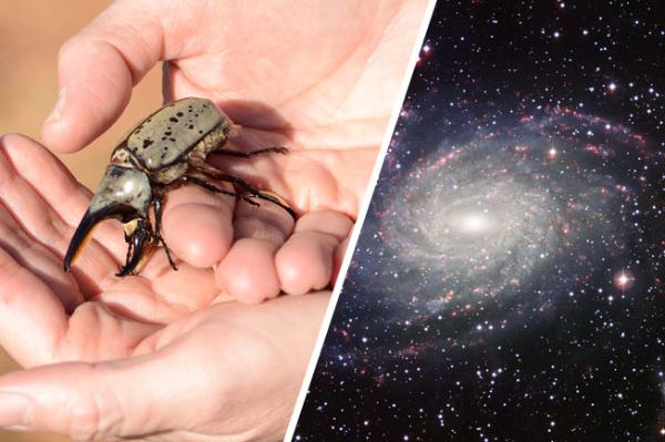 Dug Beetle