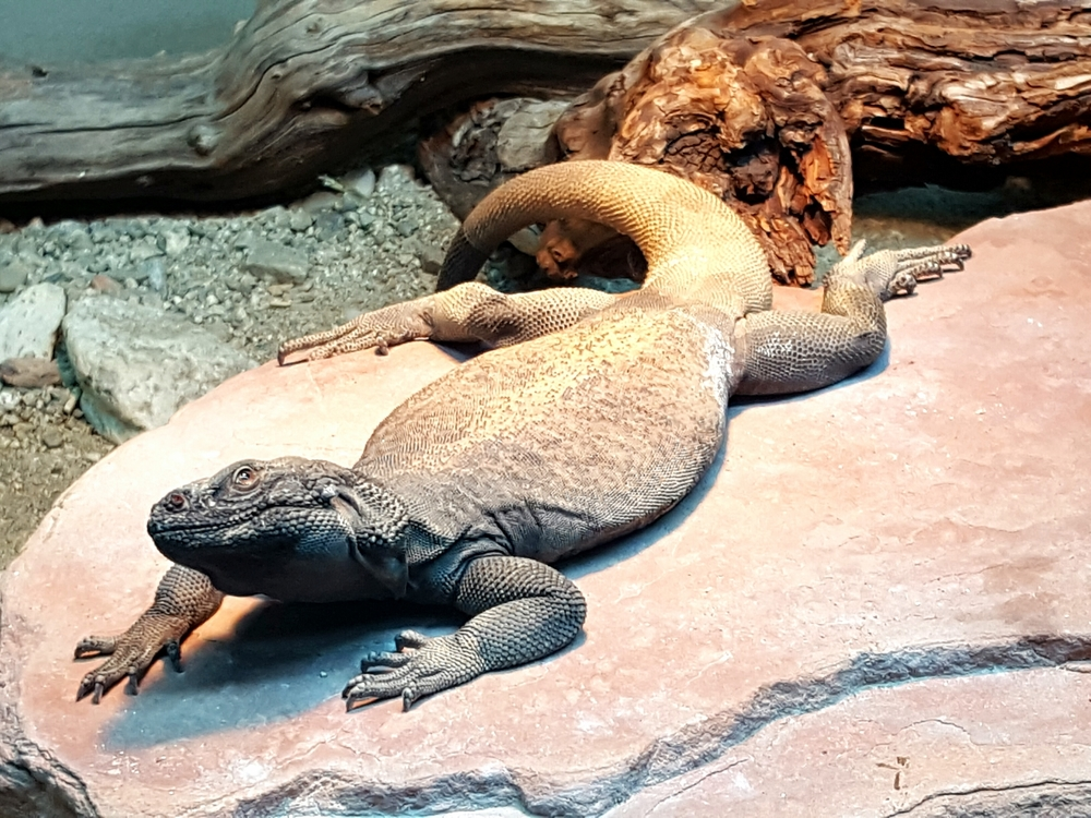 Chuckwalla at Living Desert