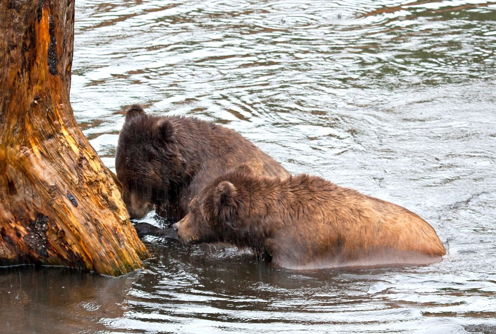 alaska-brown-bears-in-rain_GJgfHUO_.jpg