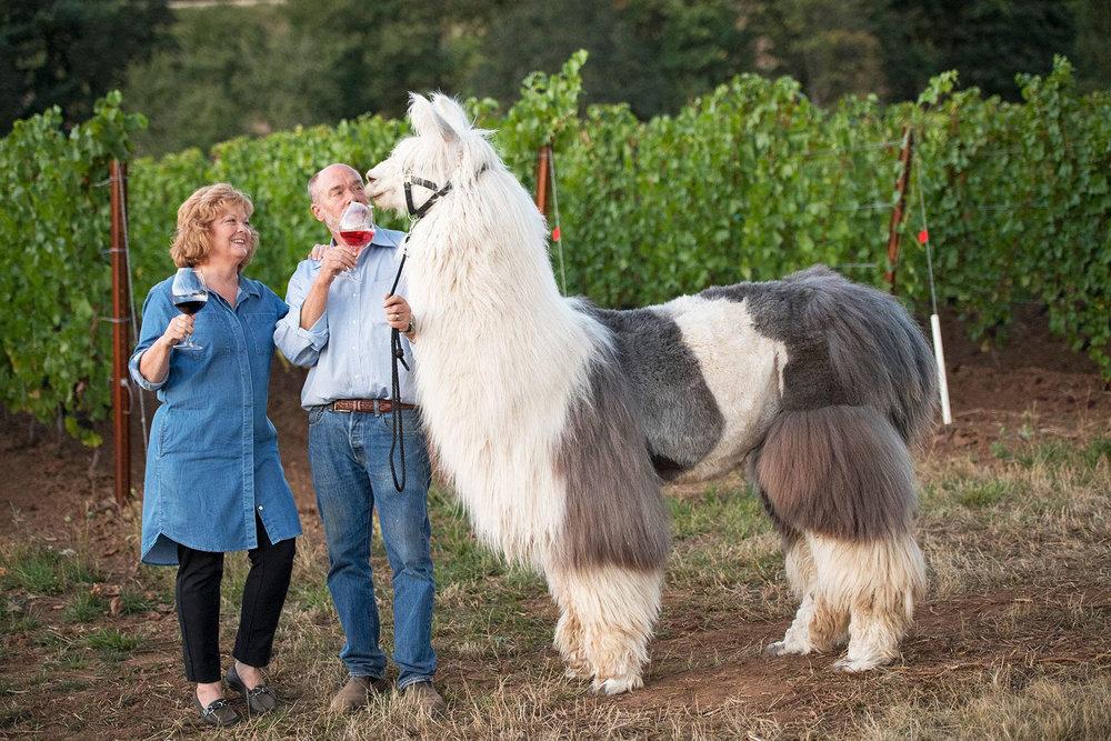Wine drinking llamas.jpg