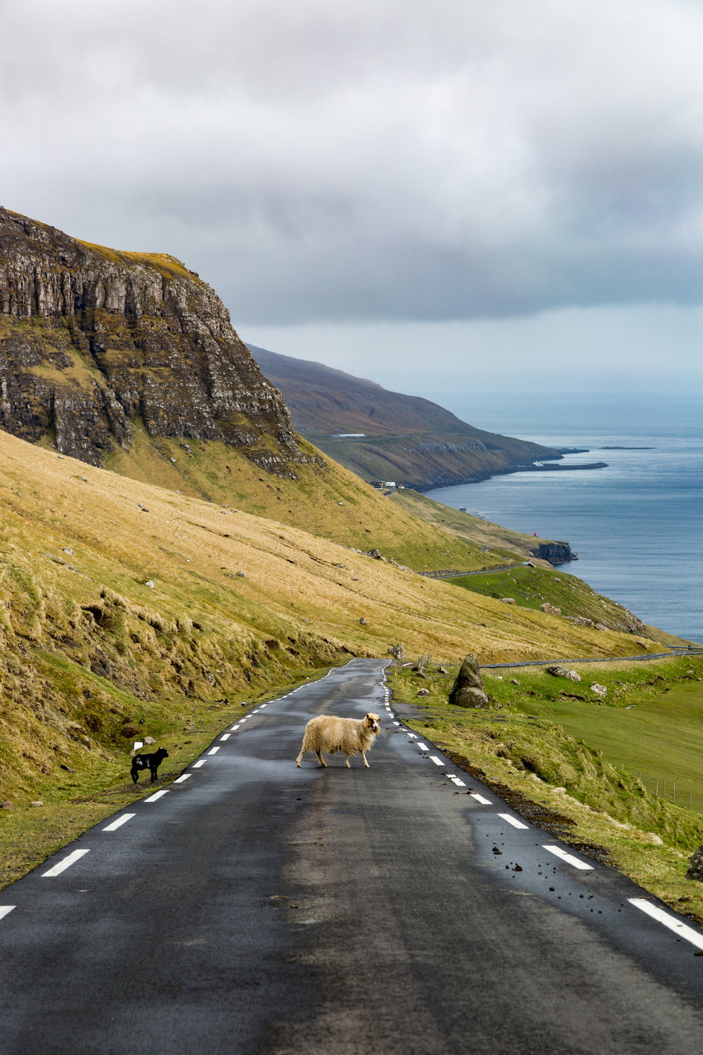 Sheep on the roads in the Faroe Islands last May.