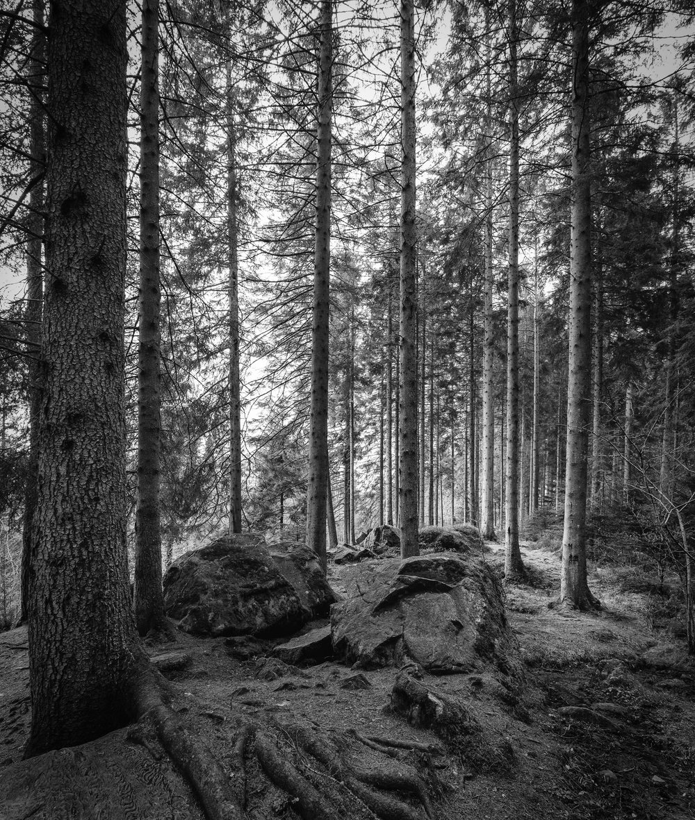 Pine Forest, Hermitage, Highland
