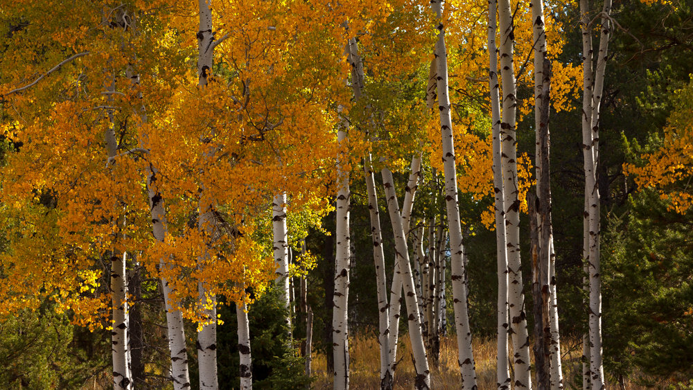 Aspens with their fall colors