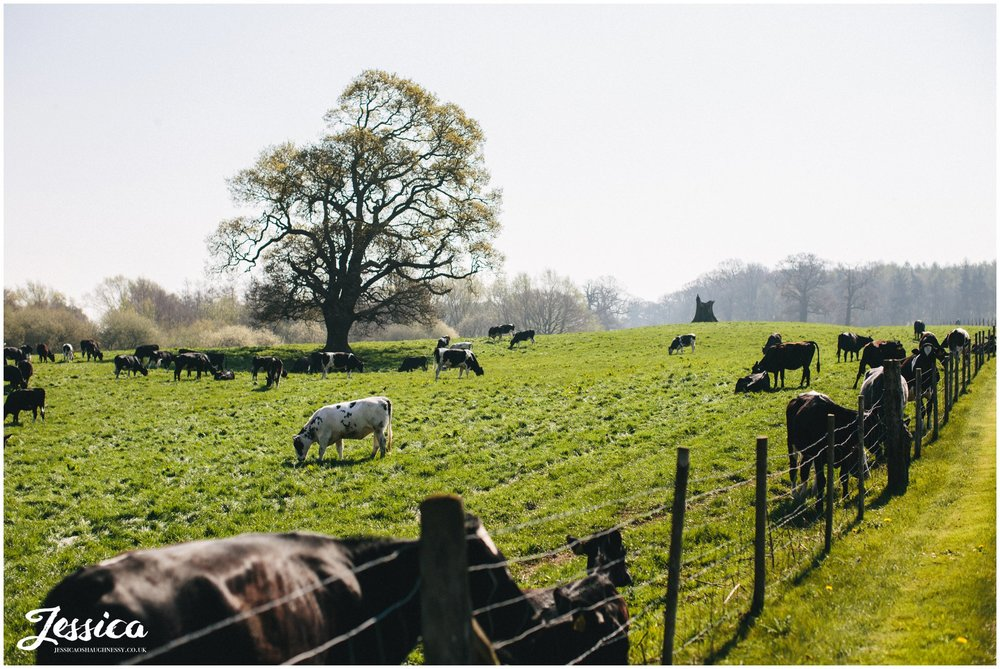 Cows in the field surrounding the driveway of Combermere Abbey in Shrophire