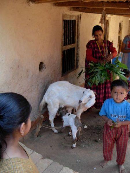 nepal_goat_2007.jpg