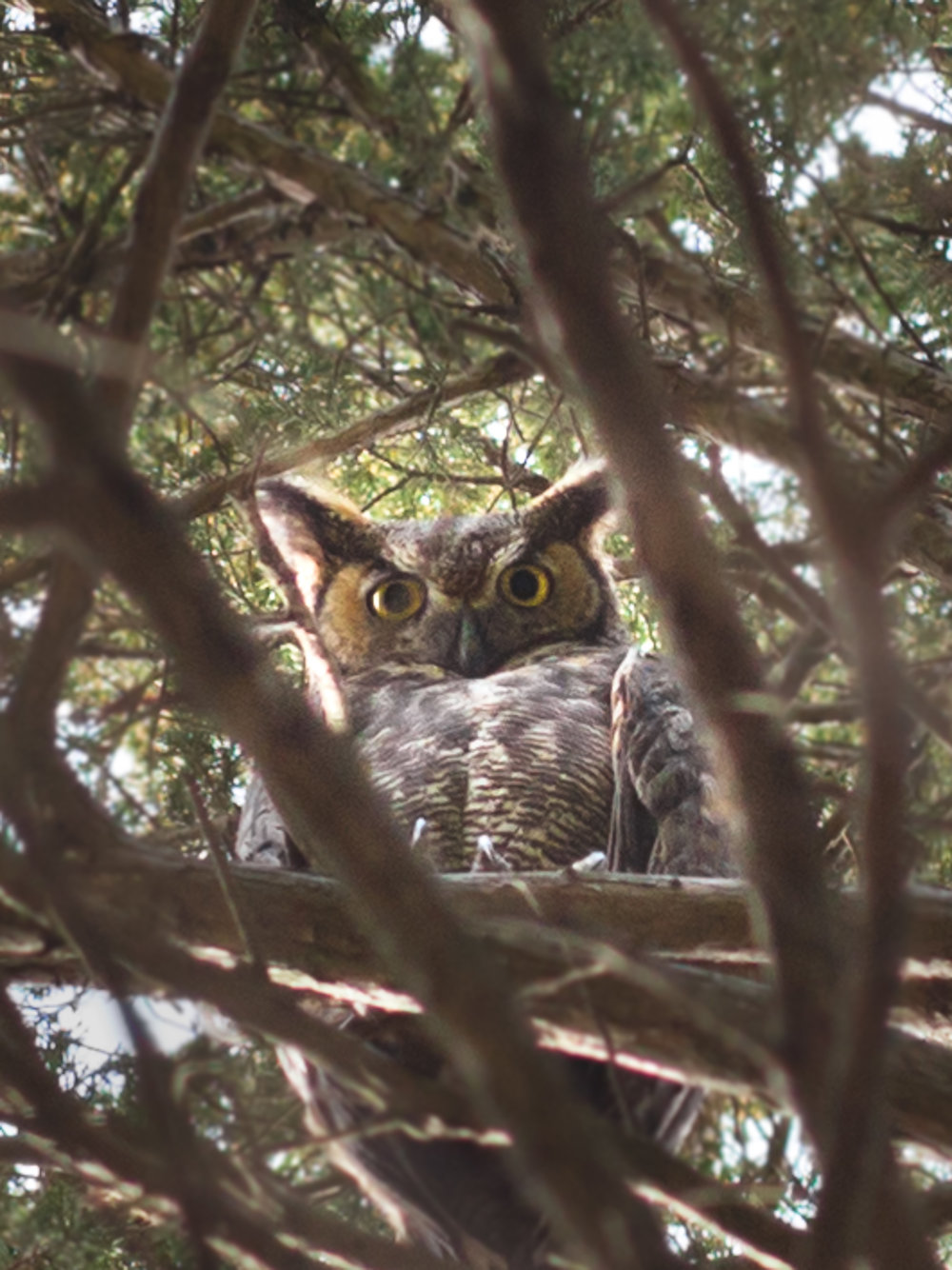 Athena, a great-horned owl looks down from her perch, not far from her nest, high up in the trees at Prairie School.