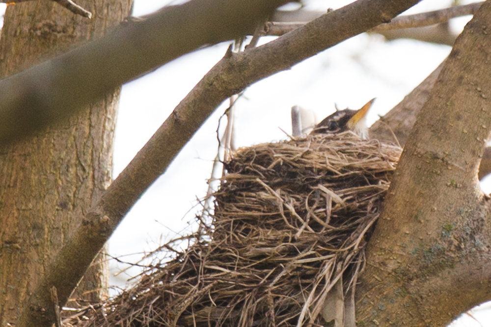 A mother robin sits on her eggs in an apple tree on the Prairie School grounds in springtime.
