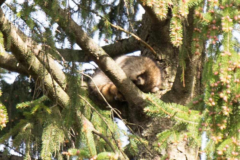 A raccoon sleeps high up in the trees.
