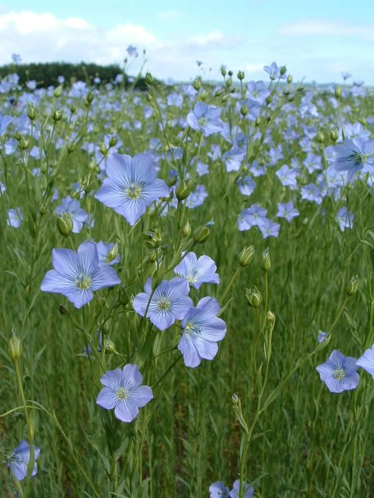 flax flowers.jpg