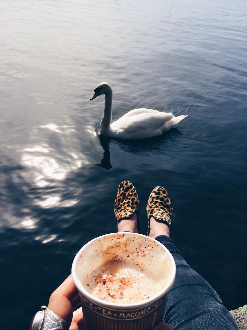 swans in hamburg
