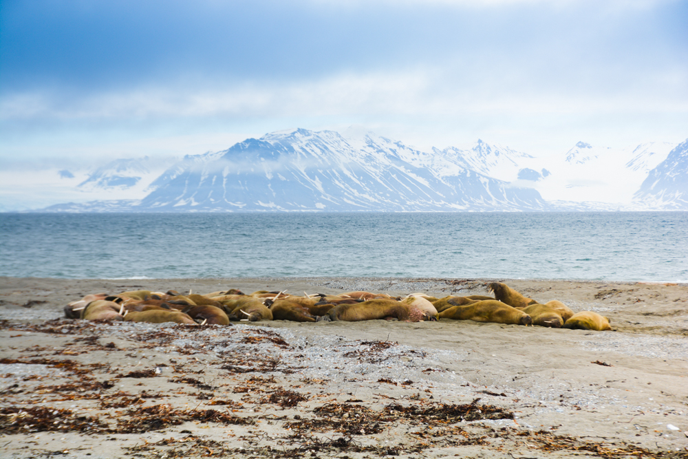 Svalbard_Pukka_WalrusIsland_PerriRothenberg_Resized-8950.jpg