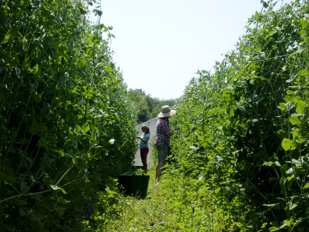 "What you're seeing: A delightful summer morning in the sugar snap pea rows.   What most farmers are thinking: ""Can't these peas just pick themselves?! I'm  never   going to get out of here!! And, Jesus, these weeds!"""