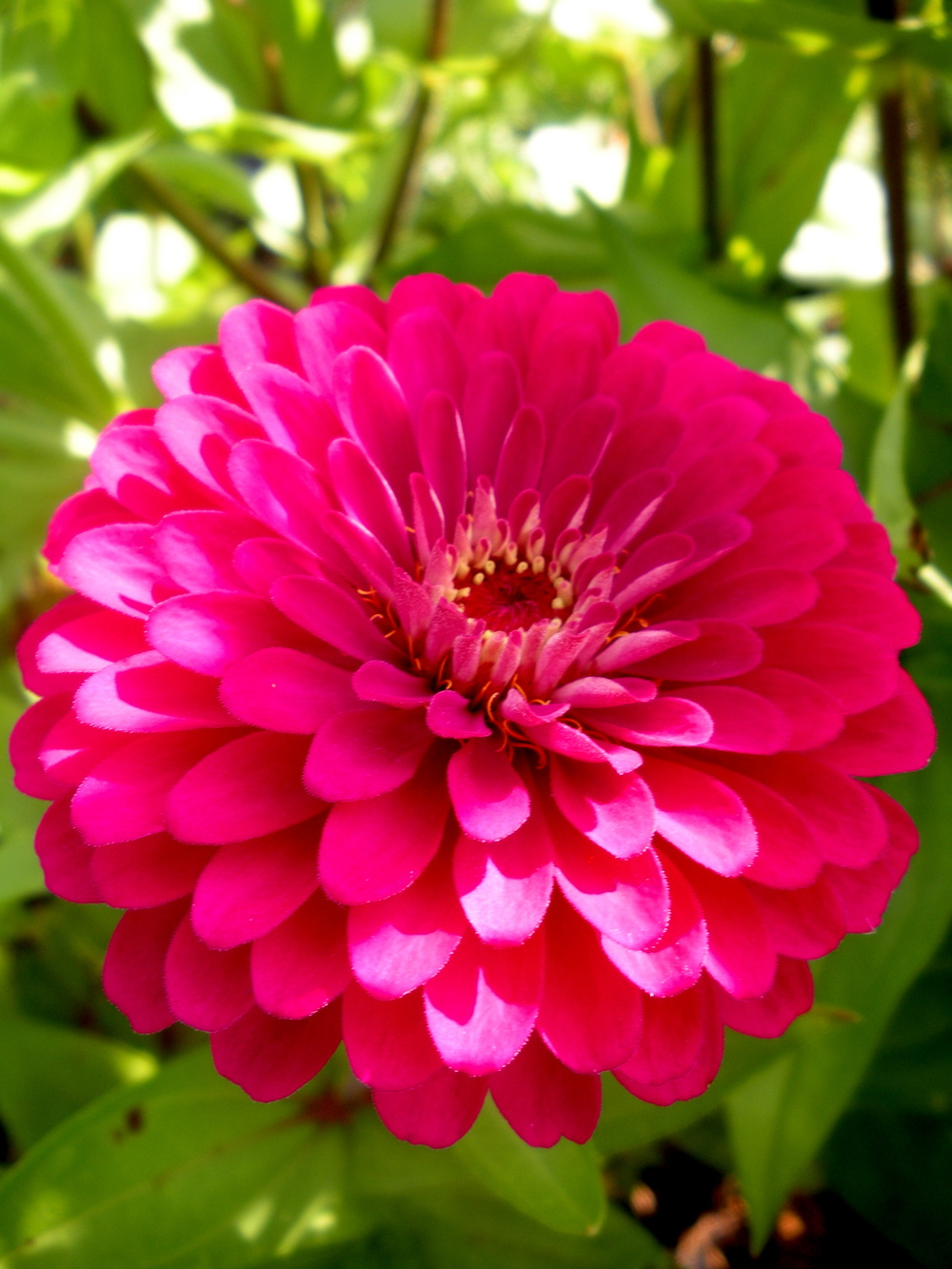 Glorious zinnia!