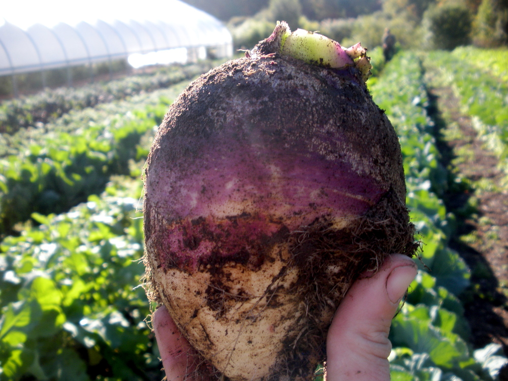 Behold, the rutabaga!